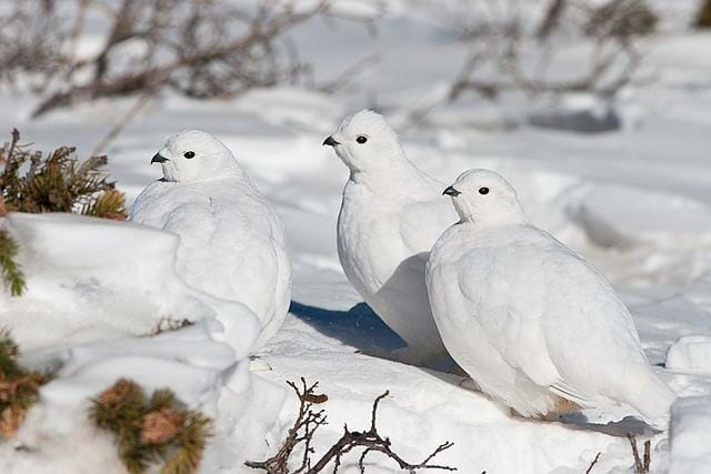 white-tailed-ptarmigan-bruce-cyg-1