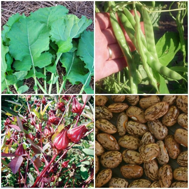 Roselle, collards, crowder peas at Southern Exposure