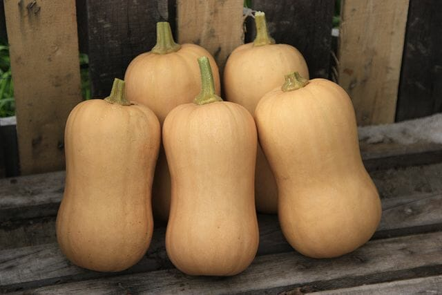 Tiana hybrid organic Butternut from High Mowing