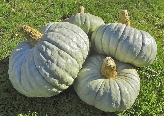 Piacentina winter squash, Adaptive Seeds