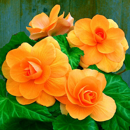 Apricot rose form begonia at Gardenimport