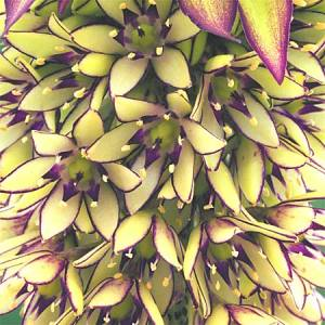 Eucomis bicolor flower detail at Gardenimport