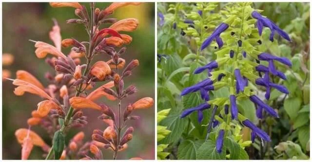 Agastache and Salvia copyright High Country Gardens