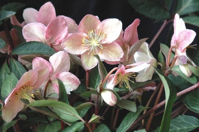 Helleborus ×ballardiae 'Raulston Remembered'