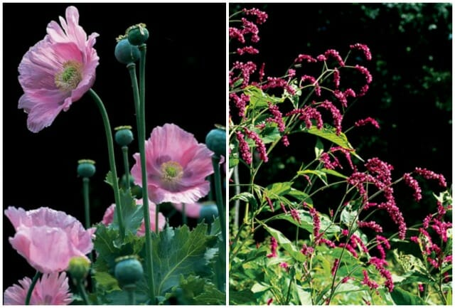 imperial pink poppy and polygonum orientale