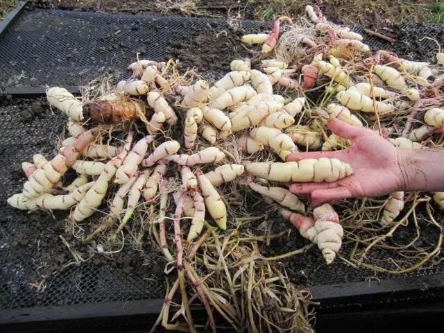 mashua tubers eace seedlings