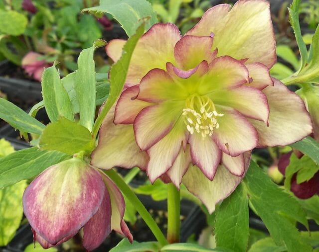 Growing Hellebores With The Late Judith Knott Tyler A Way To Garden
