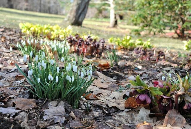 snowdrops and hellebores 2