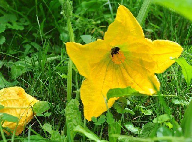 Squash blossom with bee