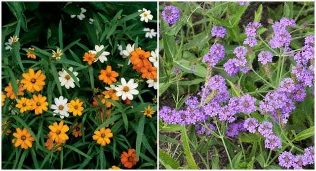 starbright mix zinnia and vervain