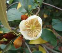 choicest magnolias and how to prune them, with andrew bunting