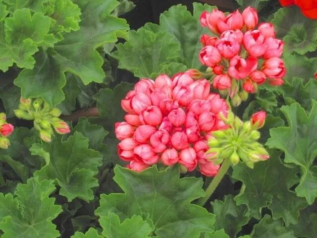 Pandora geranium Shady Hill
