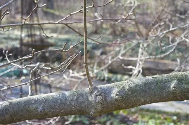 epicormic shoot on magnolia branch