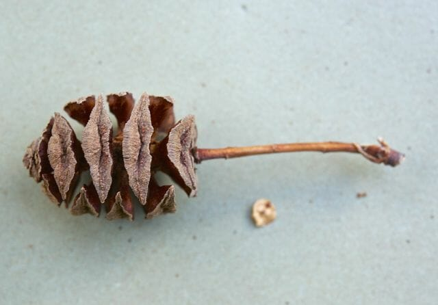 metasequoia cone and seed
