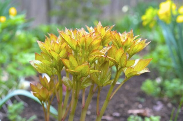 paeonia golden angel emerging
