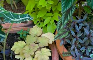 Everything from a perennial Heuchera 'Caramel' to a tender rex begonia vine (actually Cissus discolor, a tender grape relative) and even some lowly orange impatiens (not blooming yet) are in the mixture.