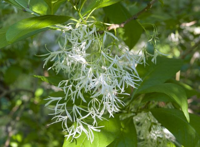 male flowers chionanthus virginicus