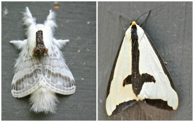 small tolype and clymene moths