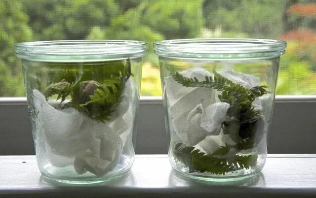 ferns in jar to hatch moths