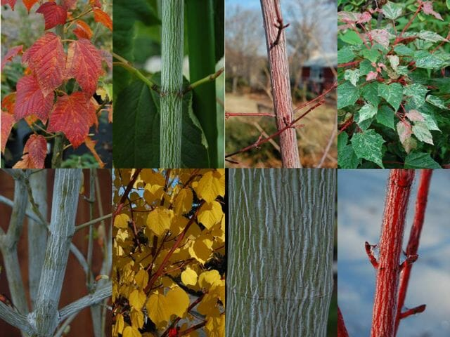 Acer Snakebark maples through the year