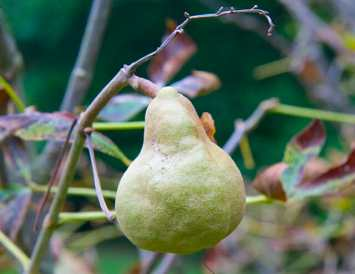 """""""What's that pear?"""" everyone asked, but it's not a pear. It's a seedpod of an Aesculus pavia, the red buckeye."""