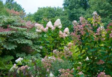 Various panicle hydrangeas are colored up now, along with Aralia (including a variegated A. elata, top left corner).