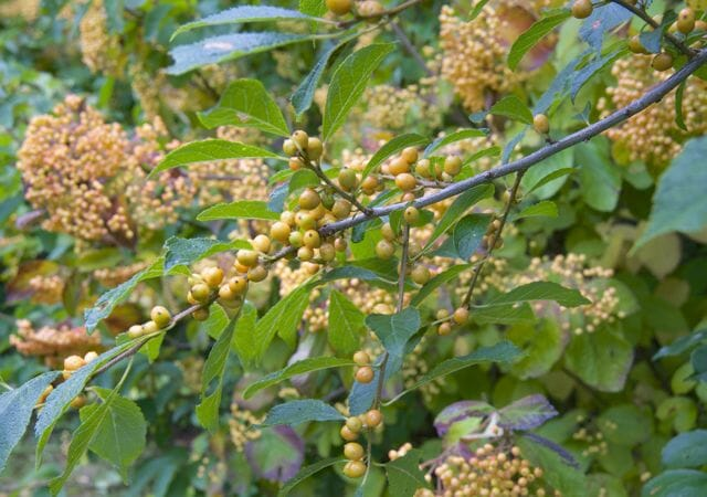 gold holly and viburnum 2