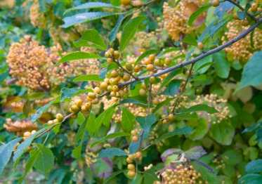 Besides lots of gold foliage, I like gold fruit, too -- including yellow winterberry holly (foreground) and 'Michael Dodge' viburnum.