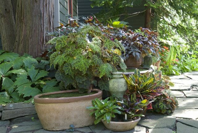 """Just up the path a little farther on, many of my """"houseplant"""" fancy-leaf begonias are still summering outdoors in the bright shade, but will come back in the week for winter."""