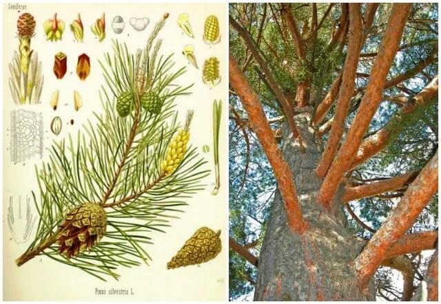courtesy Conifers.org