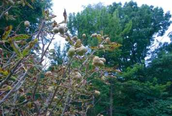 Aesculus pavia, a small tree, was positively covered in them. Crazy.