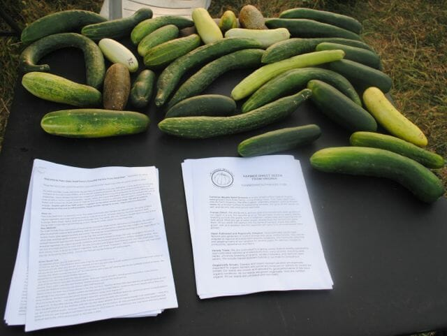 cucumbers at field day