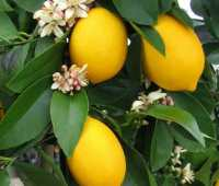 citrus in pots: how to grow, and overwinter it, with four winds growers