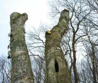 snags, or wildlife trees: cultivate, don't cart away, dead, dying, and hazard trees