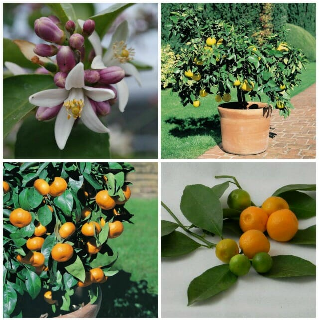citrus in pots: how to grow, and overwinter it, with four
