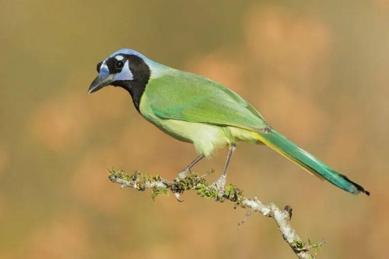 Green Jay Tom Gray