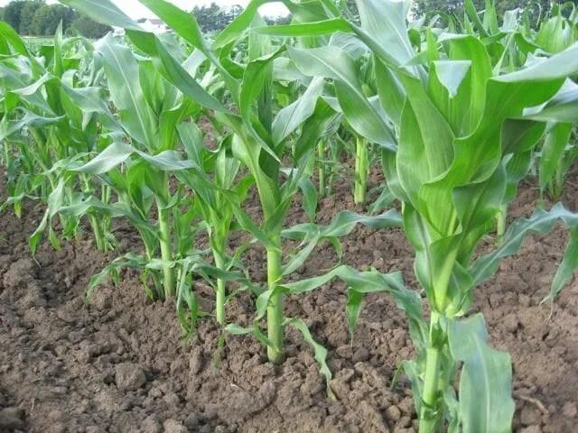 corn-earlystage