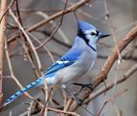 birdnote q&a: the blue jay's loudmouth lineage