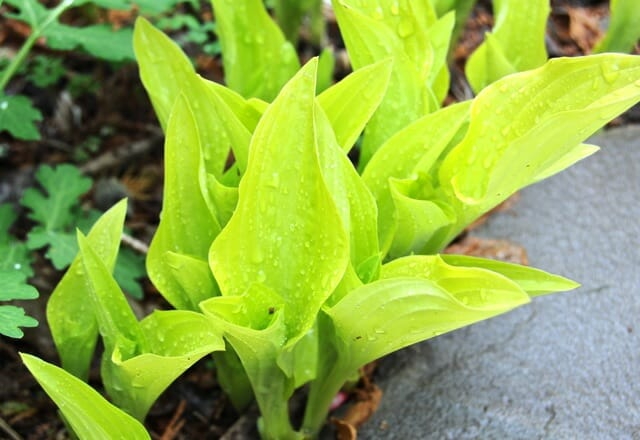 emerging hostas gold