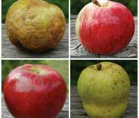 antique apples with dan bussey of seed savers exchange