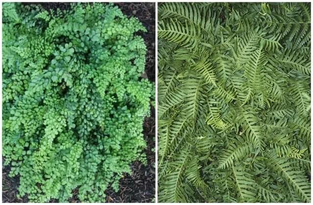 plant delights venustum and uulong island