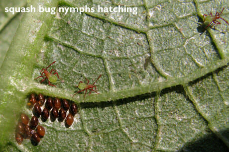 squash_bug_eggs_hatching2
