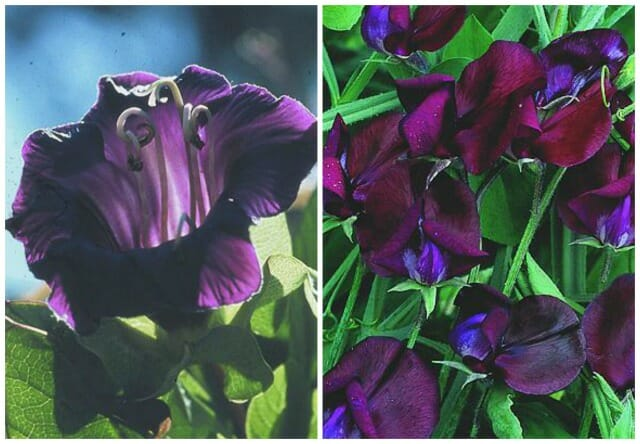 cobaea and black knight sweet pea select seeds