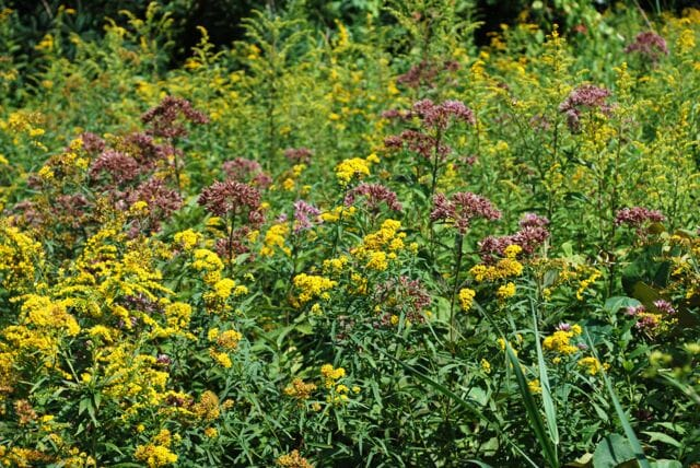 Eupatorium and Solidago (59B)