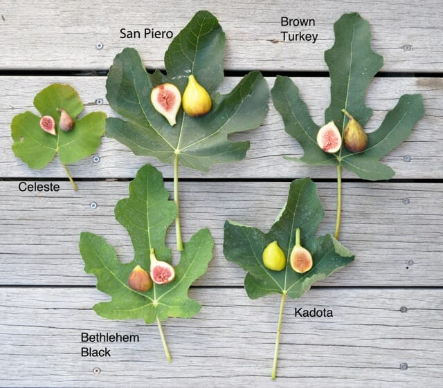 Ficus, 5 varieties w labels
