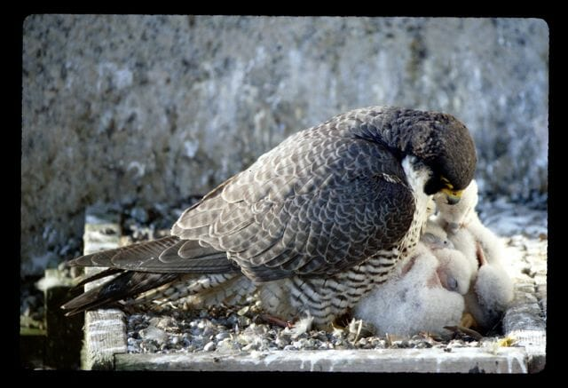 Peregrine with two-week-chicks © Ruth Taylor