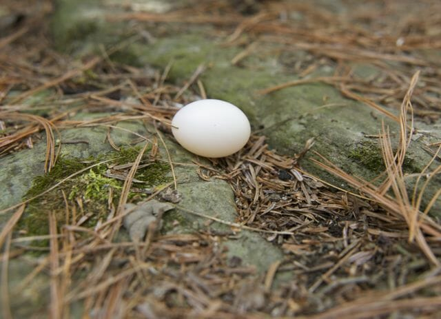 mourning dove egg
