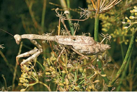 Carolina Mantid_D.Shetlar