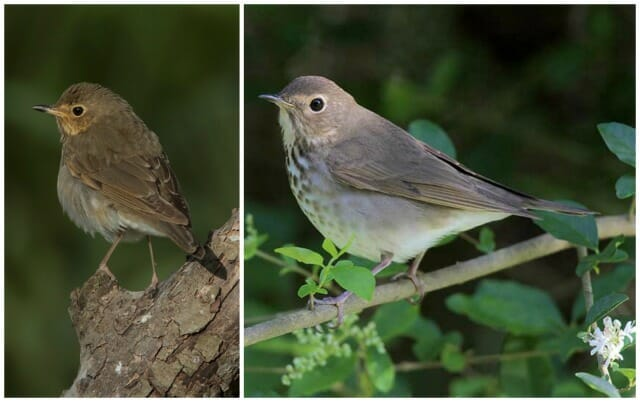 Joanne Kamo veery and swainsons thrush