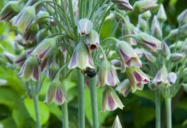 nectaroscordum with bee